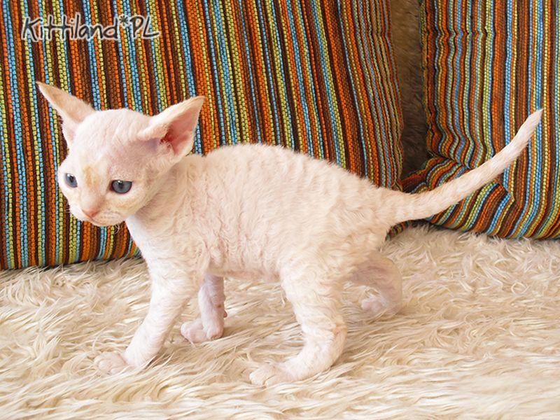 Najnowsze Kocięta - Kittiland, hodowla kotów rasy Devon Rex LX19